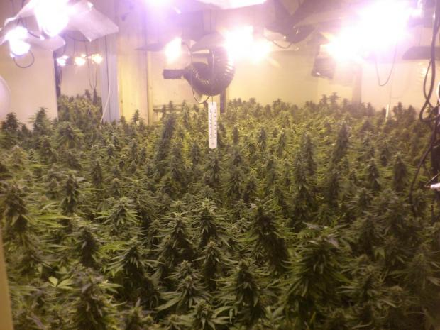More than 1,057 cannabis plants, similar to those pictured, were seized during the operation
