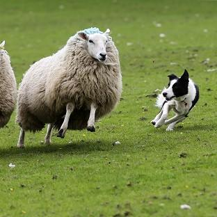 A study found rounding up sheep successfully is a deceptively simple process involving just two b